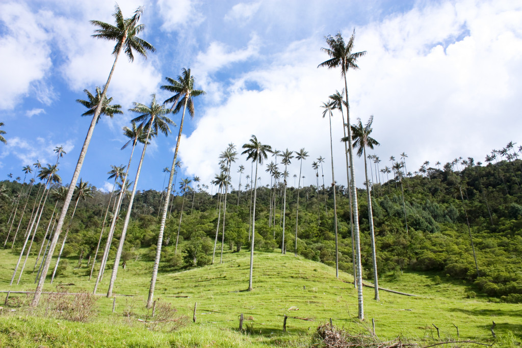 Coconut trees in the mountain