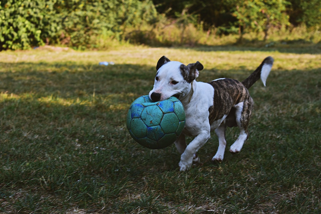 dog carrying a ball